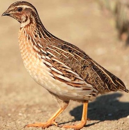 how to look after baby quails