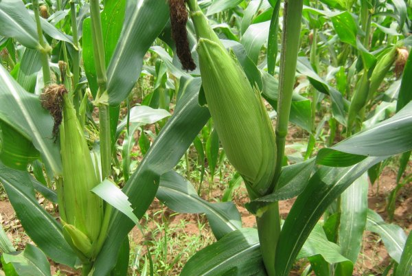 BEST WEED CONTROL FOR MAIZE FARM